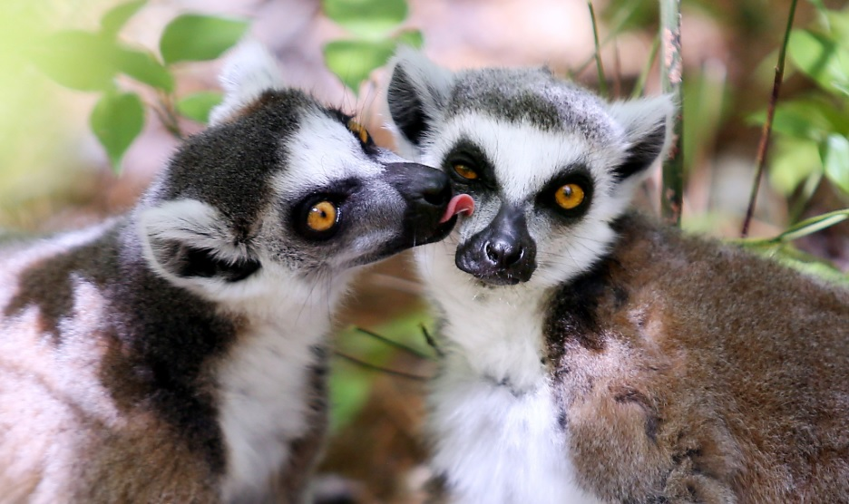Lemur love groom