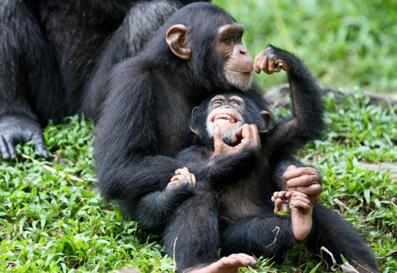 Chimpanzee mother and child Image via simranjeet