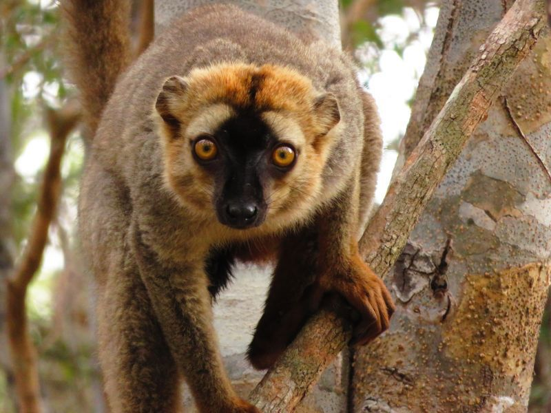 Red frontal lemur