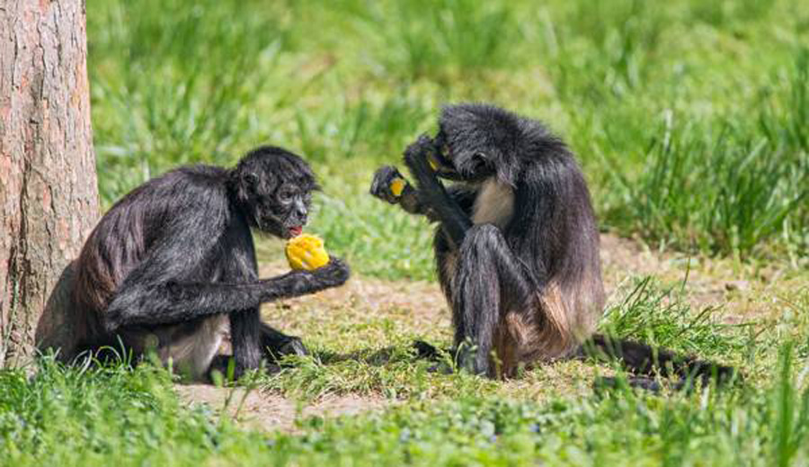 Spider Monkeys eating