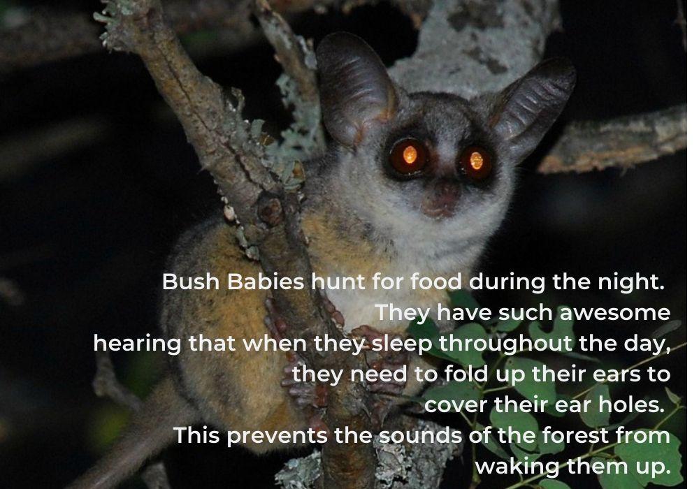 Bush babies- 10 facts
