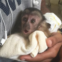 monkey as pet