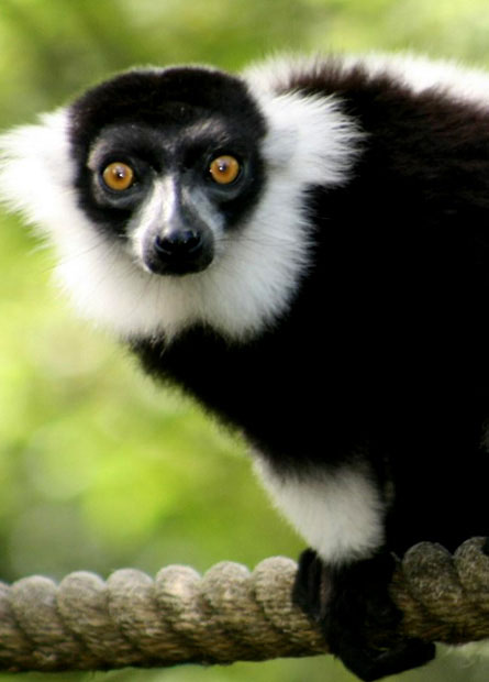 BLACK AND WHITE RUFFED LEMURS